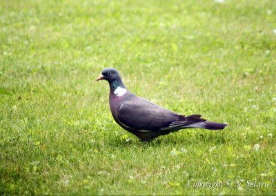 Porumbelul gulerat